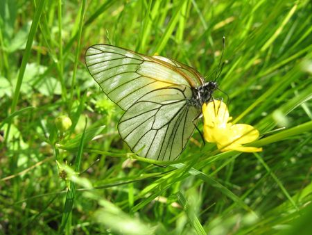 The white butterfly sits on a yellow flower Stock Photo - 5192680