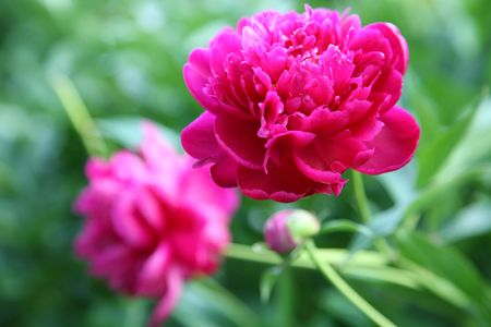 claret: Claret peonies against green foliage