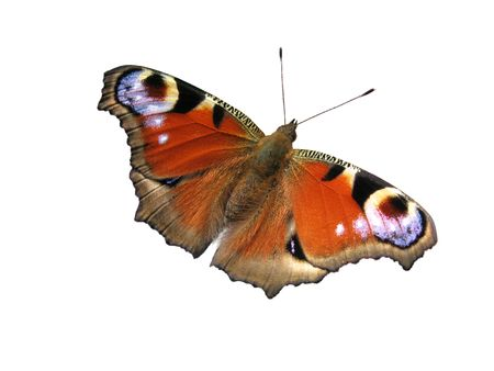 peacock eye: The brown butterfly is isolated on a white background