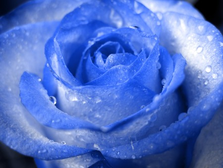 blue rose in drops of water photo