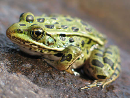 Leopard frog on rock in river.