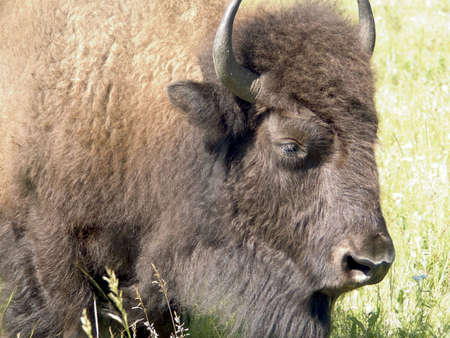 Close-up of a bisons head, with grass in the background.