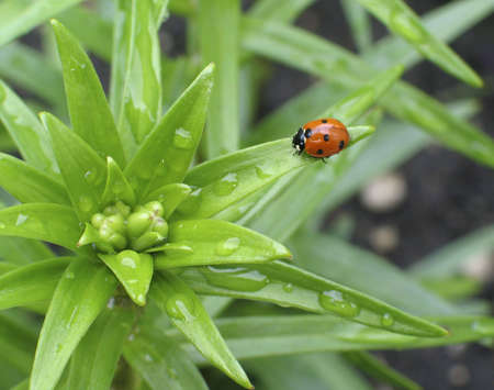 wetness: Ladybug on the leaf of a young lily plant in Spring.