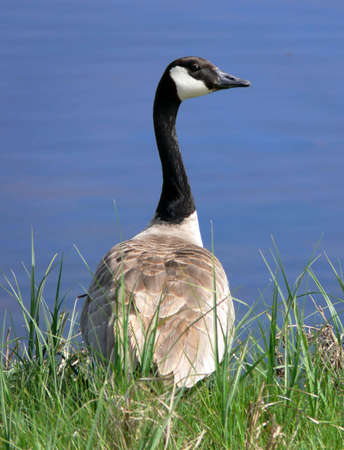 Goose standing on grass in front of a body of water. Goose is seen from behind, with head turned to the right to show profile.