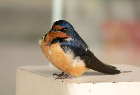 Tiny swallow chick perched on a post.