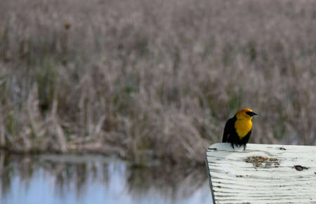 Yellow-headed blackbird perched on an old sign with a marsh in the background. There is lots of space on the top and left for copy.