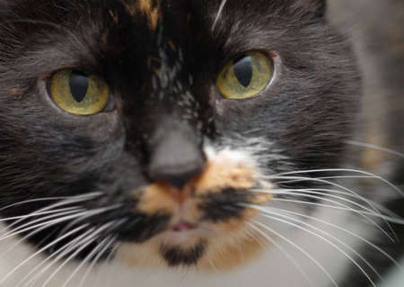Close up of calico cats face, looking at you. Stock Photo