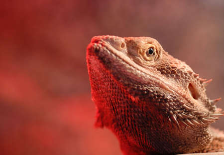 Macro of a bearded dragons head with the red glow of a heat lamp underneath.