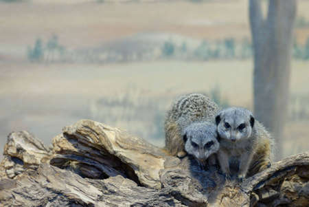 Two slender-tailed meerkats huddled together on a log in a zoo enclosure.