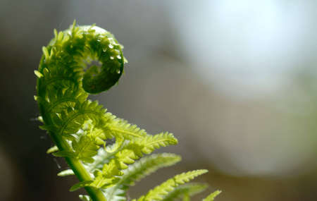 Macro of partially opened fiddlehead. Stock Photo - 946197