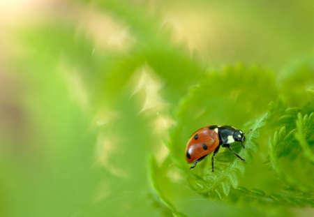 Macro of a ladybug on a fern.