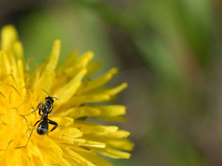 Macro of an ant on a dandelion flower. photo