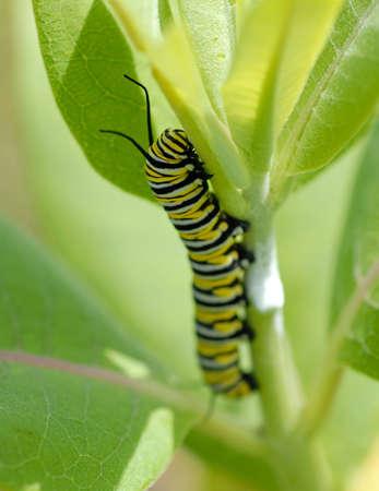 danaus: Macro of a monarch caterpillar (Danaus plexippus) on a milkweed plant. Stock Photo