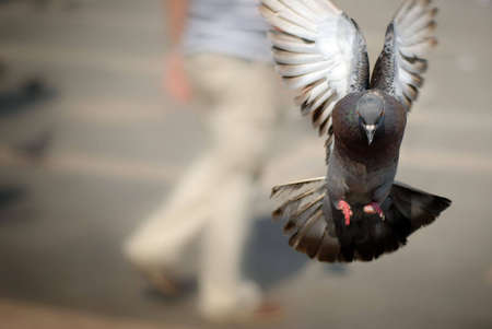 Pigeon flying directly toward camera, with room for text on left. Stock Photo - 1780778