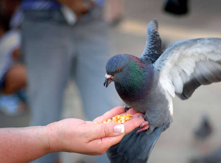 Pigeon feeding and balancing on woman's hand in St. Mark's Square in Venice, Italy.