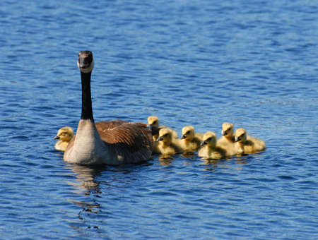 Adult goose on a lake with 7 tiny goslings. Stock Photo