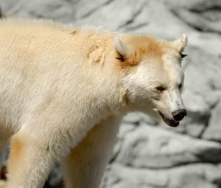 Polar bear in zoo, against stone wall.