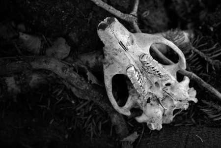 Underside of beaver skull lying on forest floor Stock Photo