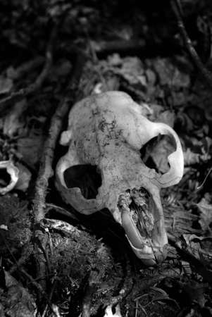 Beaver skull lying on forest floor Stock Photo