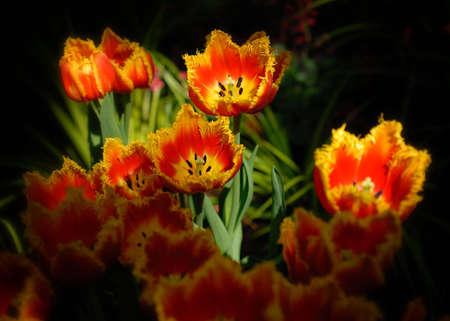 Beautiful fancy tulips in a pool of sunlight