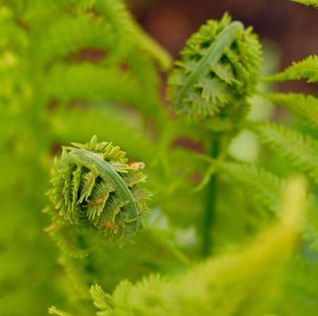 fern fiddlehead: Beautiful macro of fiddlehead against fresh fern fronds
