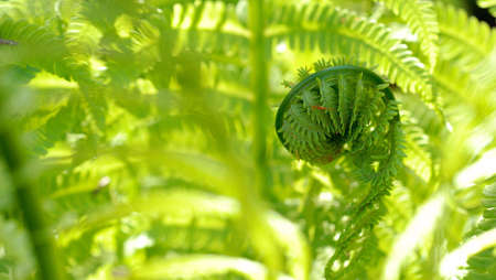 Fresh green fiddlehead surrounded by brightly lit fern fronds, with room for text