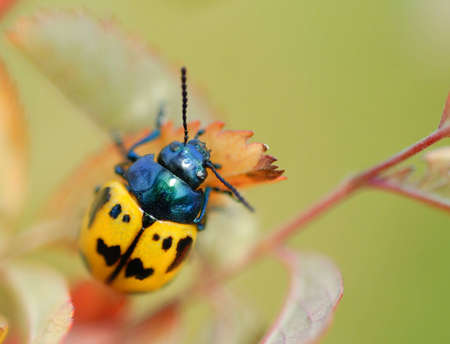 A macro of a cute black and yellow beetle on a leaf. There is room for text in upper right hand corner