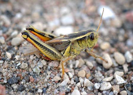 Macro of a grasshopper laying eggs in gravel Stock Photo