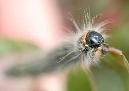 Macro of a fuzzy caterpillar, focus on head. Stock Photo