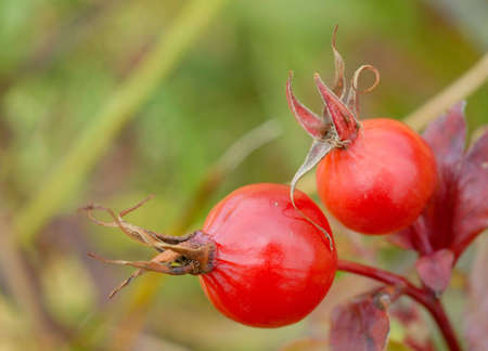 Macro of two red rosehips