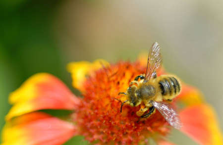Macro of an industrious bee on a blanket flower