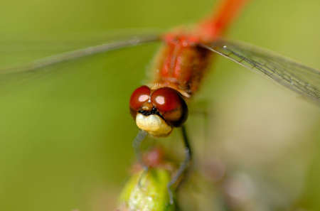Macro of a beautiful red dragonfly.