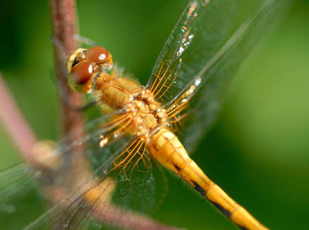 Macro of a beautiful gold dragonfly.