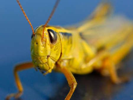 Macro of green grasshopper against blue. Stock Photo