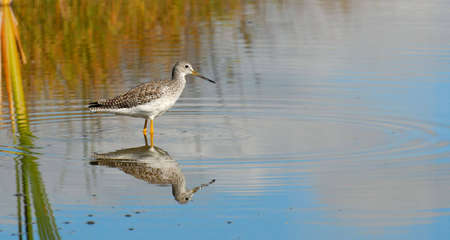 Greater Yellowlegs (Tringa melanoleuca), with reflection, standing in shallow water.