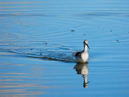 Greater Yellowlegs (Tringa melanoleuca), with reflection, running in shallow water.