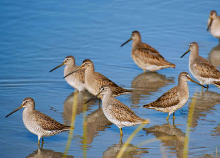 Flock of Greater Yellowlegs - Tringa melanoleuca - wading near shore.