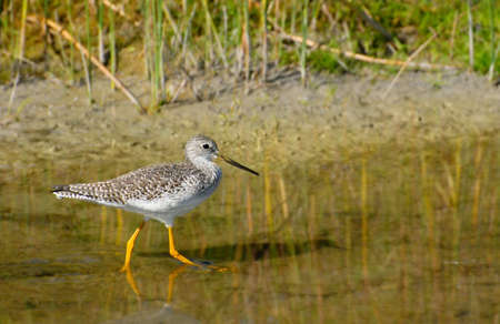 Greater Yellowlegs walking in shallow water near shore with room for text.
