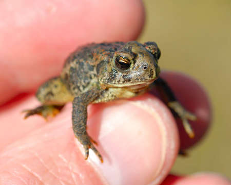 Macro of a tiny toad in a mans hand.