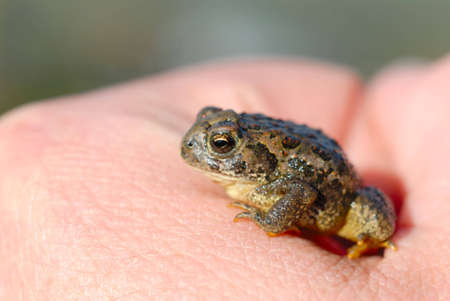 Macro of tiny toad in a mans hand.