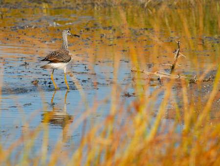 Greater Yellowleg - Tringa melanoleuca - wading near shore.