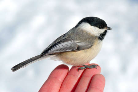 Black-capped Chickadee (Poecile atricapillus) perched on mans fingertips, with snow in background.