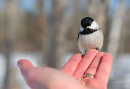Black-capped Chickadee (Poecile atricapillus) perched on mans fingertips.