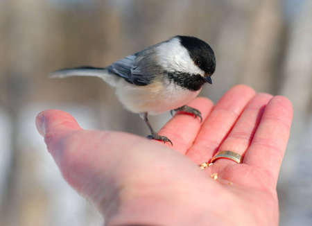 Black-capped Chickadee (Poecile atricapillus) perched on mans finger.