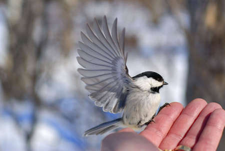 Black-capped Chickadee (Poecile atricapillus) with wings outstretched, preparing to fly away from mans hand.