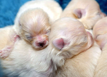 Pile of tiny sleeping Pomeranian puppies