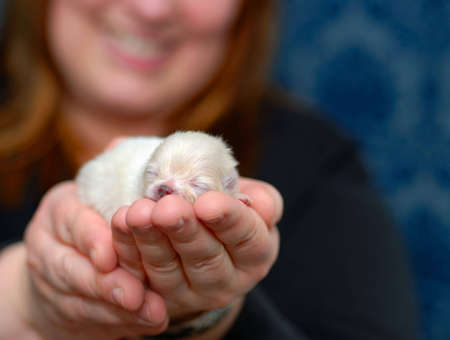 Woman holding tiny Pomeranian puppy in her hand. with shallow depth of field and room for text.