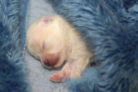 Tiny sleeping Pomeranian puppy wrapped in furry blue blanket with shallow depth of field.