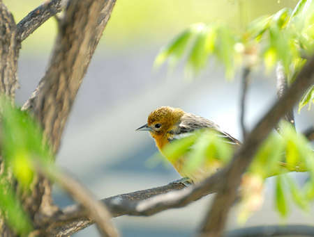 Juvenile Baltimore Oriole perched in a tree in spring.