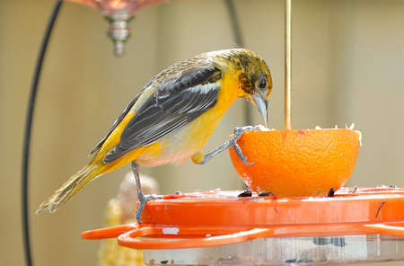 Juvenile Baltimore Oriole perched on a feeder.